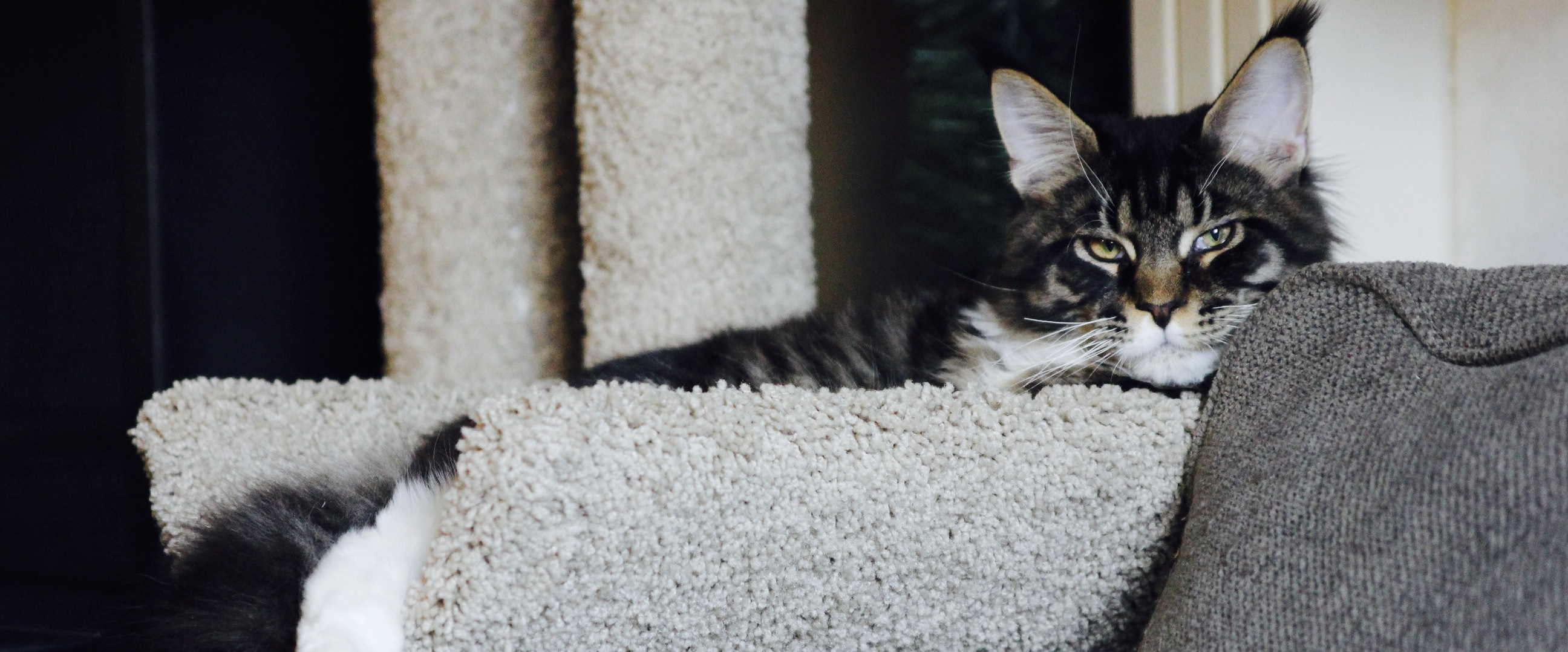 Steele Cats Cattery – Fine Maine Coon Kittens